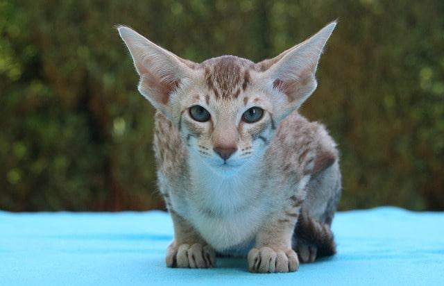 gato-tailandes-oriental