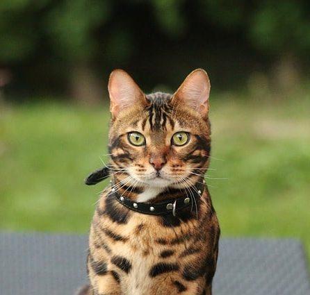 gato-tigre-de-bengala