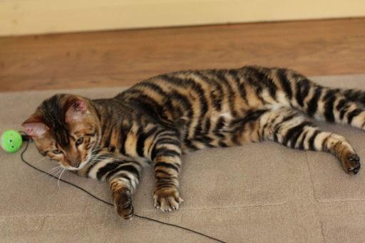 gato-tigre-domestico
