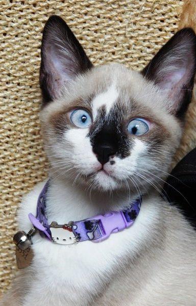 gato-tonkines-bebe