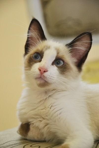 gato-tonkines-cachorro