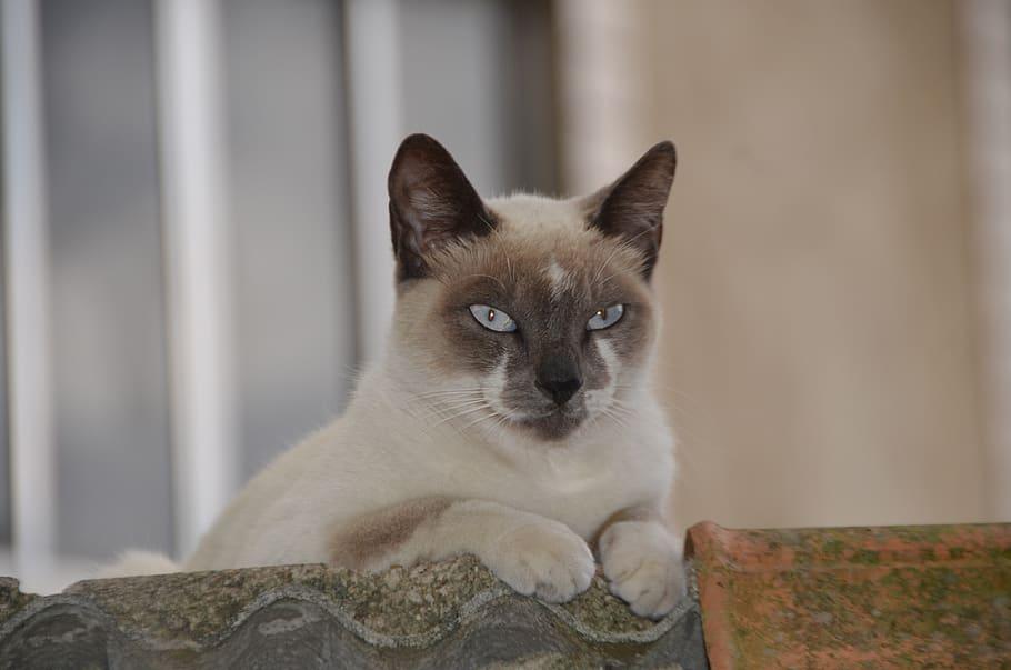 gato-tonkinese