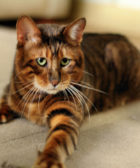 gato-tigre-raza