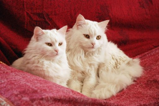 gatos-blancos-sordos