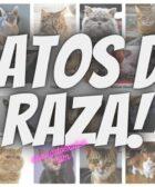 gatos-de-raza