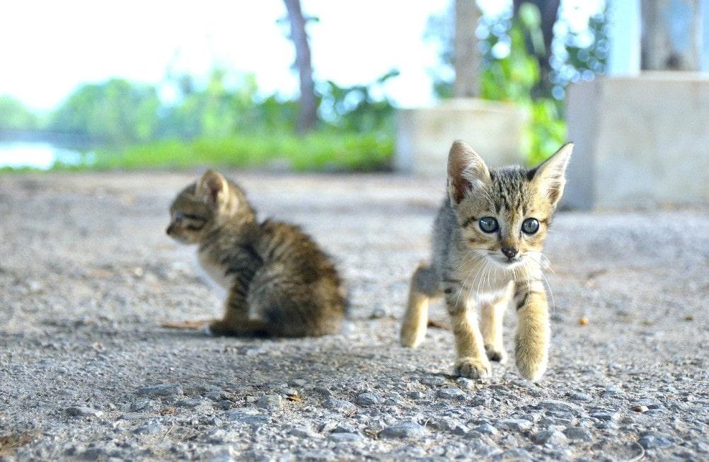 gatos-de-raza-en-adopcion