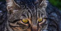 gatos-grises-atigrados