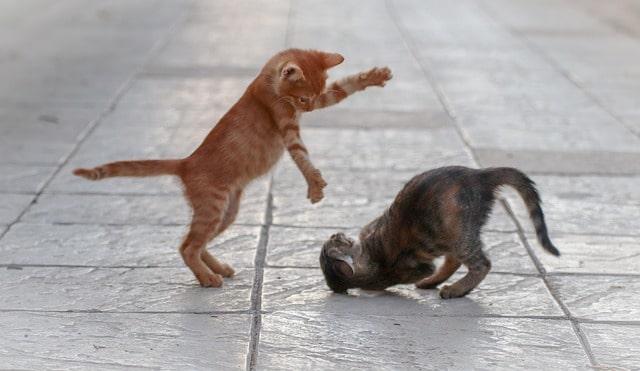 gatos-jugando