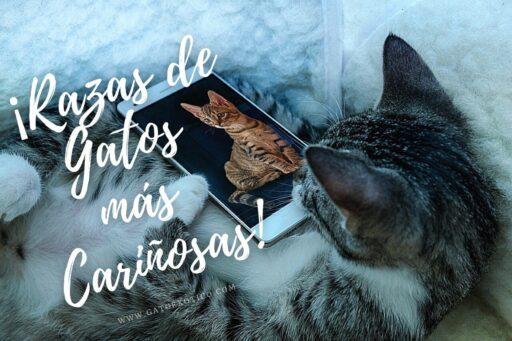 gatos-mas-cariñosos