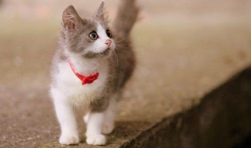 raza-de-gatos-mas-pequeña