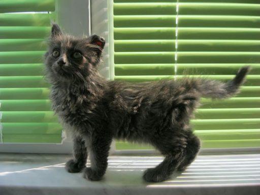 gato-patas-cortas