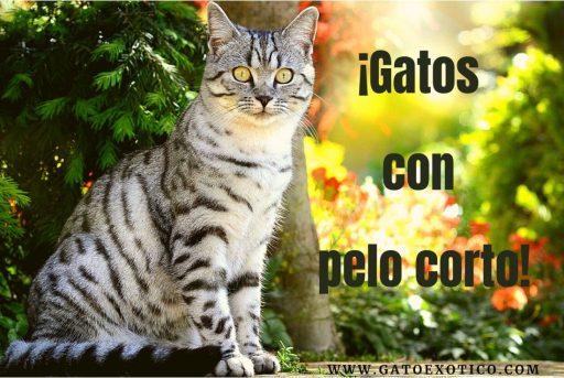 gatos-pelo-corto