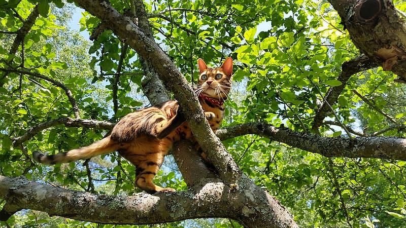 gatos-raza-bengal-caracteristicas
