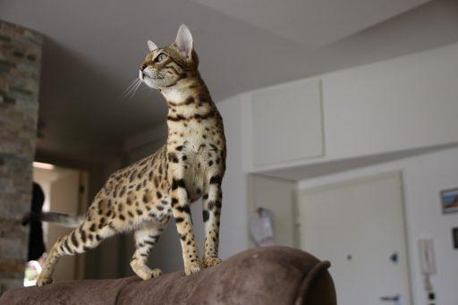 gatos-raza-bengal-precio