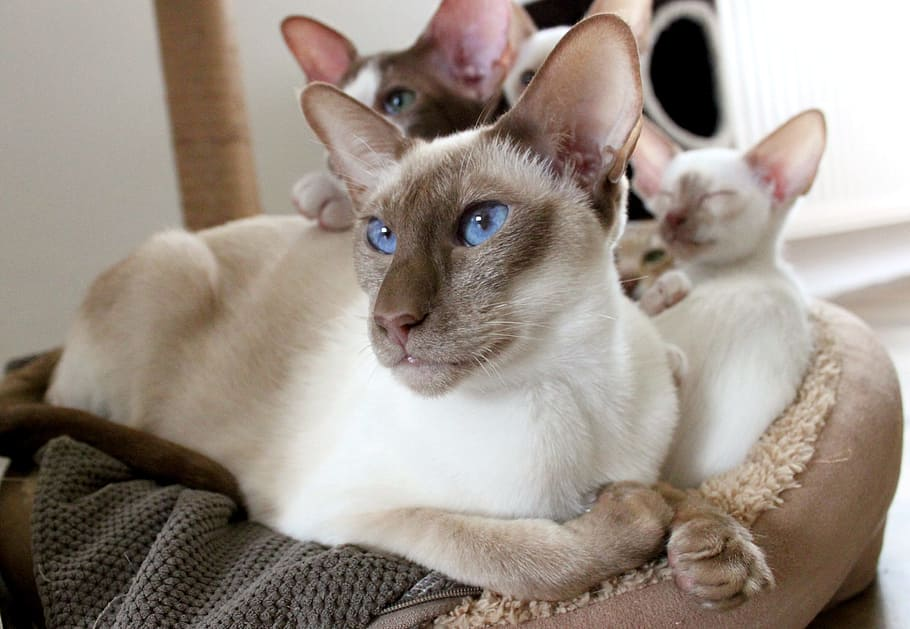 gatos-tonkineses