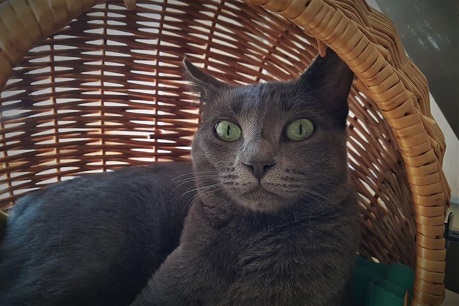 korat-gato-precio