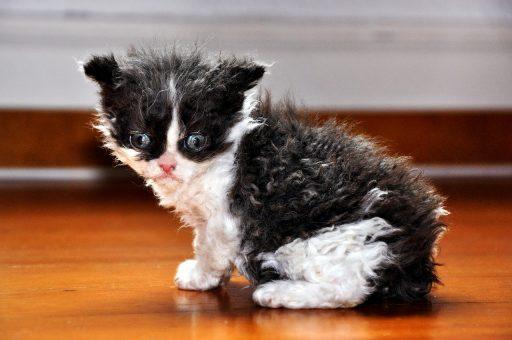 lambkin-gato