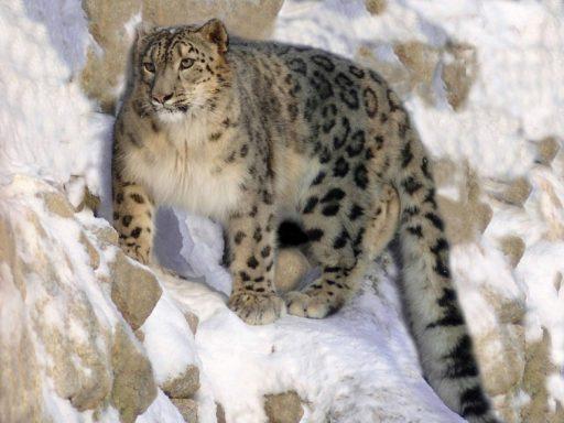 leopardo-de-la-nieve