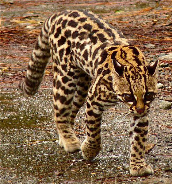 leopardus-tigrinus