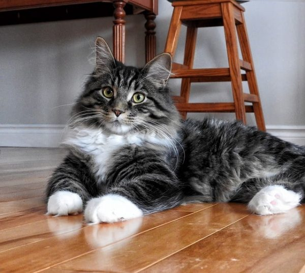 maine-coon-atigrado