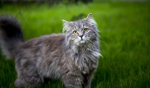 maine-coon-gris