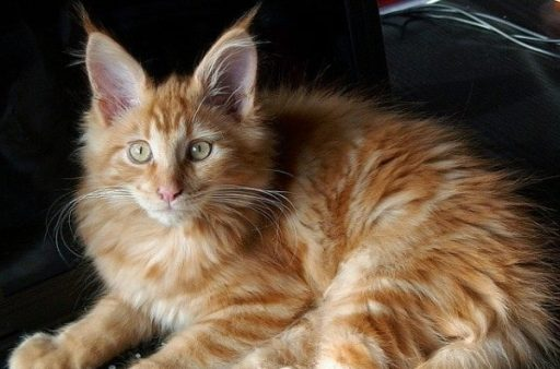 maine-coon-norwegian-forest-cat