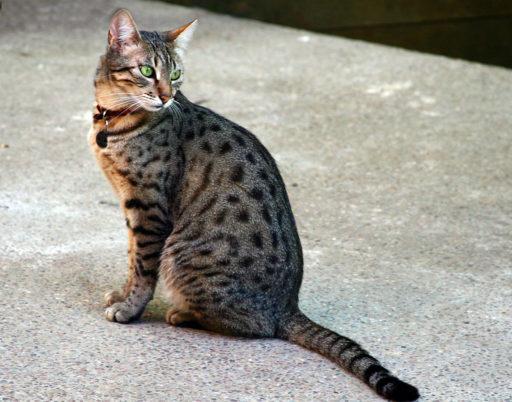 mau-egipcio-gato