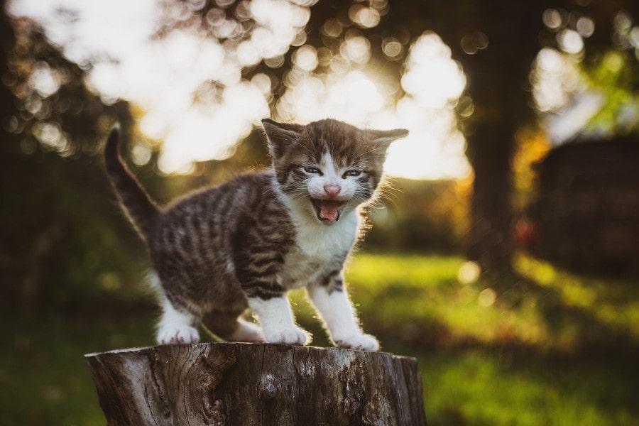 maullido-gato-pequeño