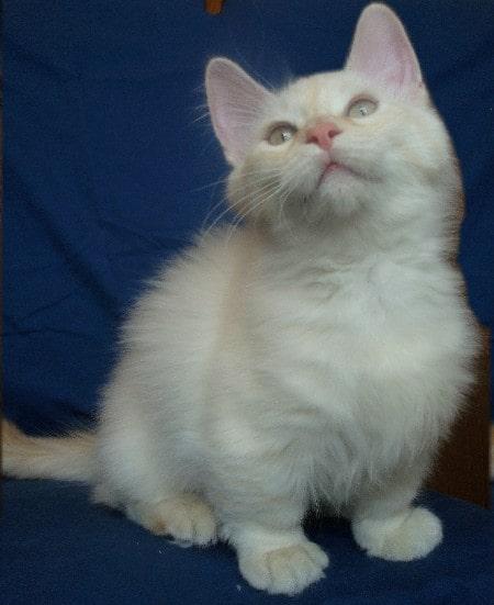 munchkin-gato-bebe