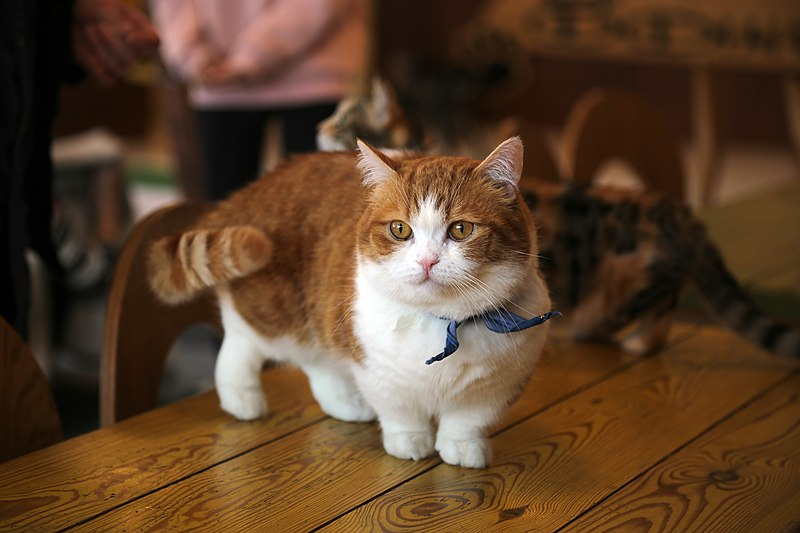 munchkin-gato