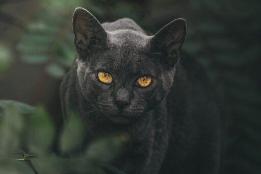 nombres-para-gatas-negras-con-significado