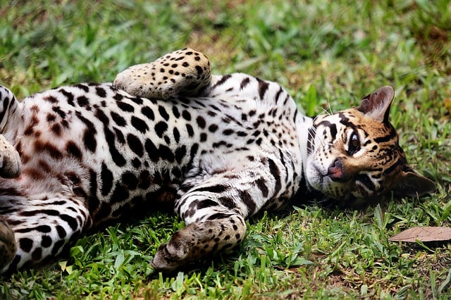 ocelote-gato