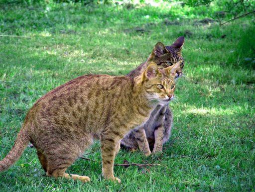 ocicat-cat