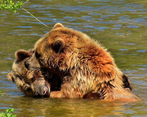 osos-pardos