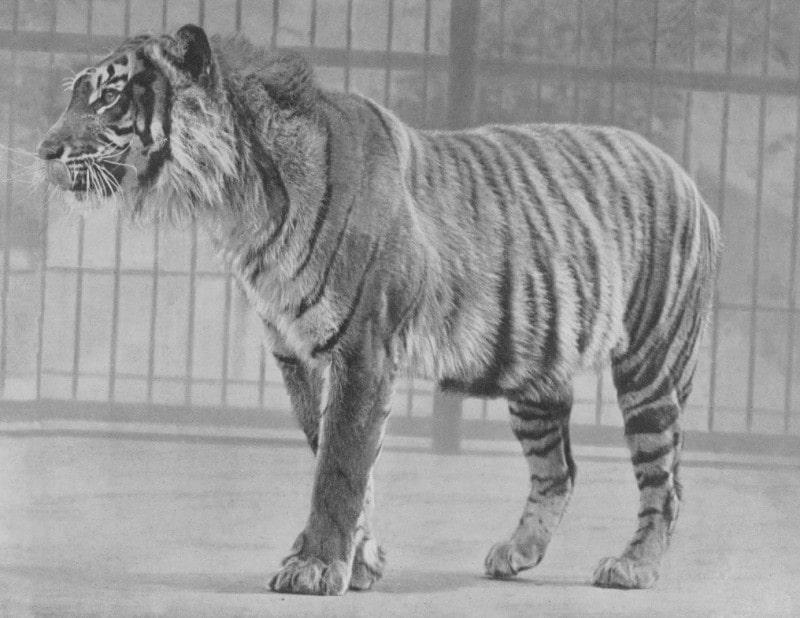 panthera-tigris-sondaica
