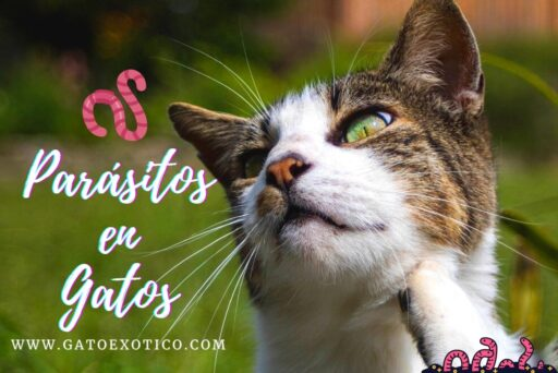 parasitos-en-gatos