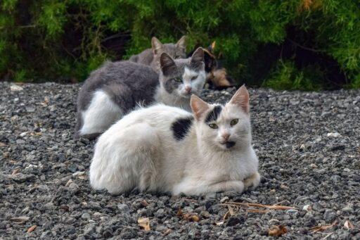 parasitos-externos-gatos