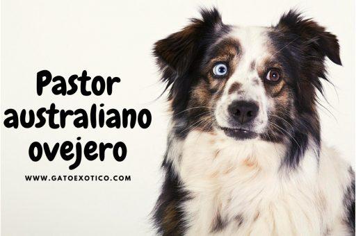 pastor-australiano-ovejero