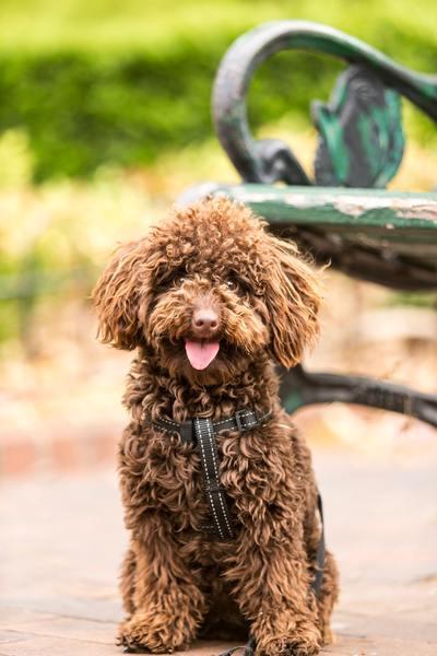 perro-de-agua-cachorro