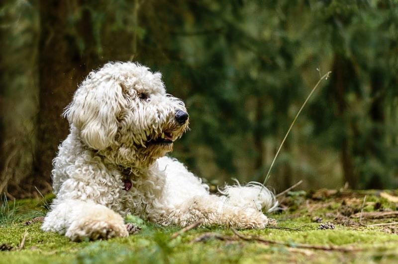 perro-de-agua-caracter