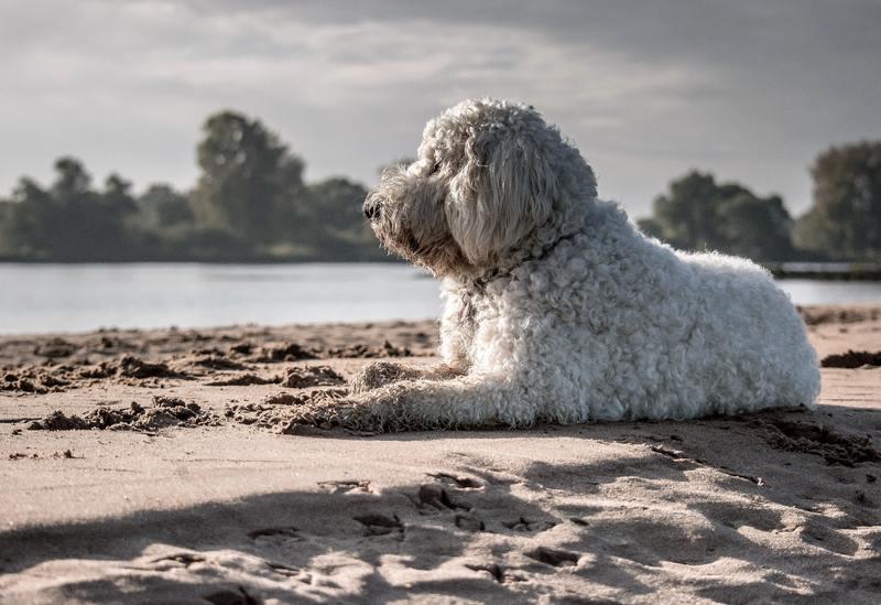 perro-de-agua-español-adoptar