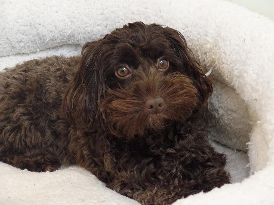 perro-de-agua-español-cachorro