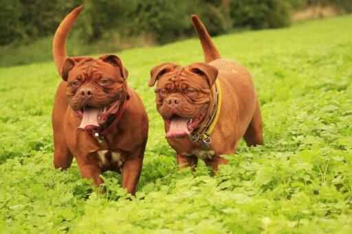 perro-dogo-de-burdeos-peso
