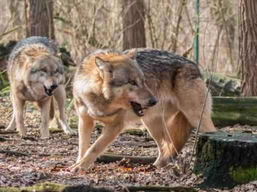 perro-lobo-checoslovaco-caracter