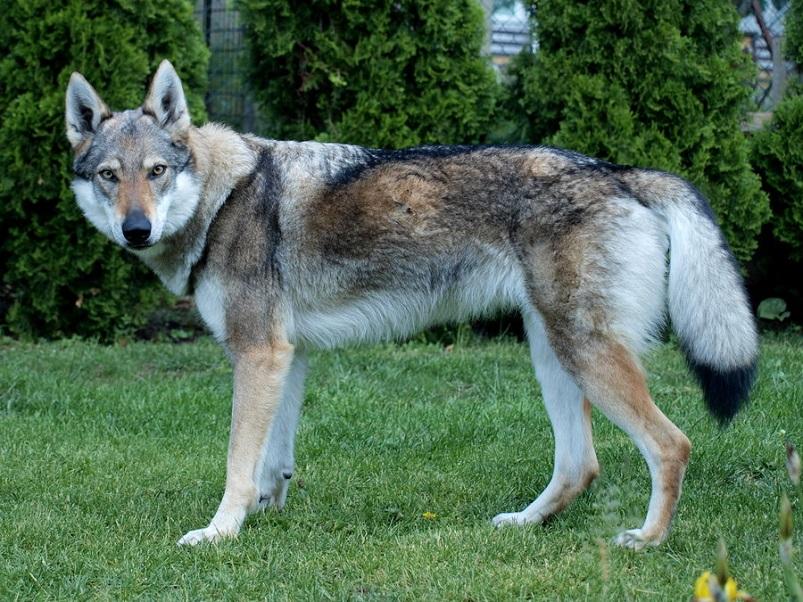 perro-lobo-checoslovaco-caracteristicas
