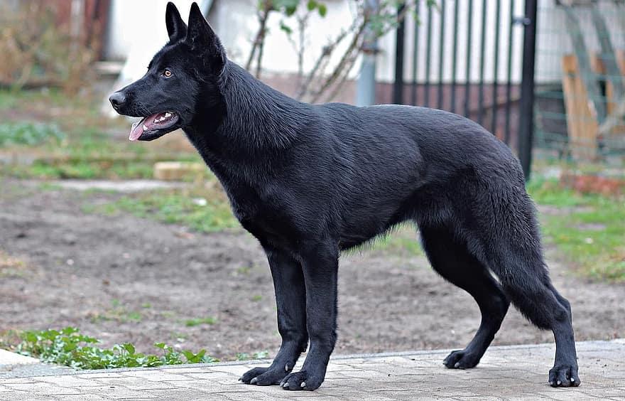 perro-lobo-checoslovaco-negro