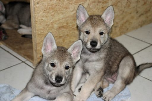 perro-lobo-checoslovaco-precio