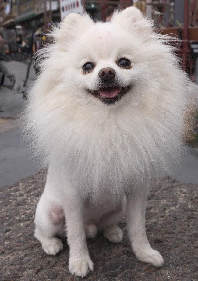 perro-pomerania-blanco