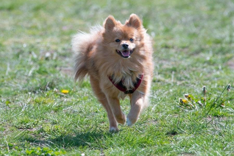 perro-pomerania-cuidados