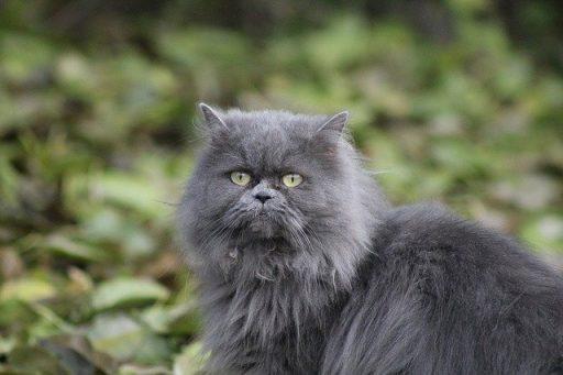 persa-gato-gris